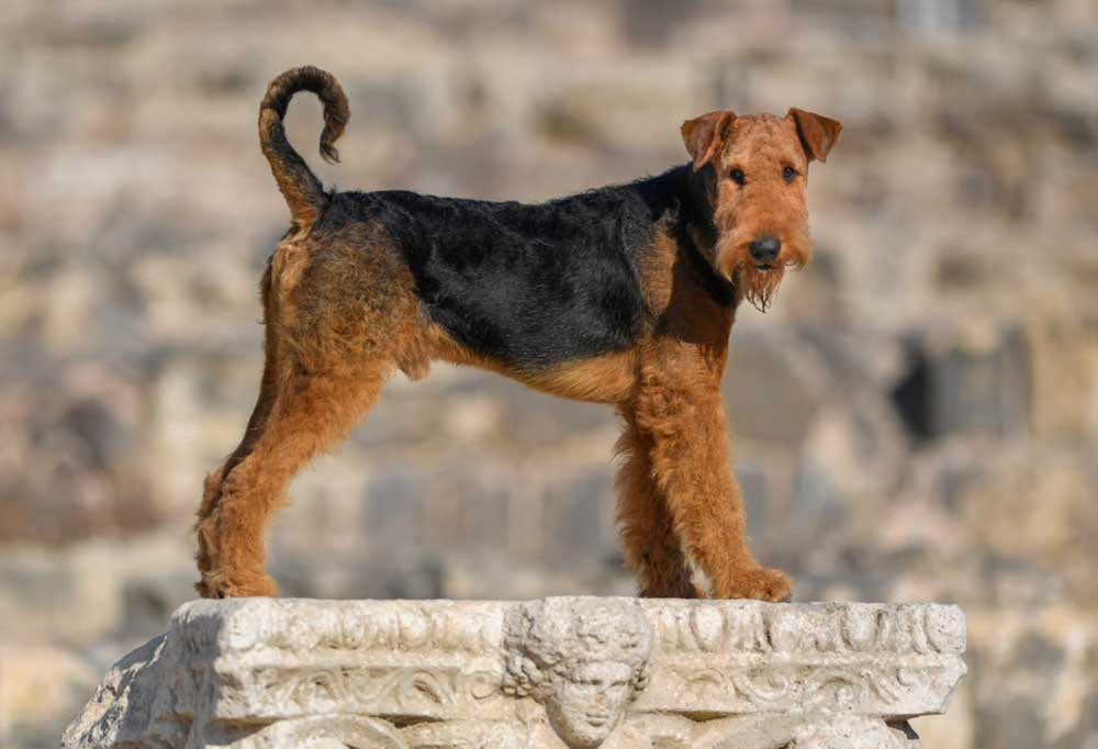 Airedale Terrier standing on a stone pillar