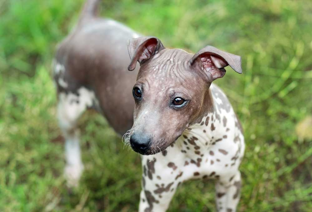 American Hairless Terrier in grass