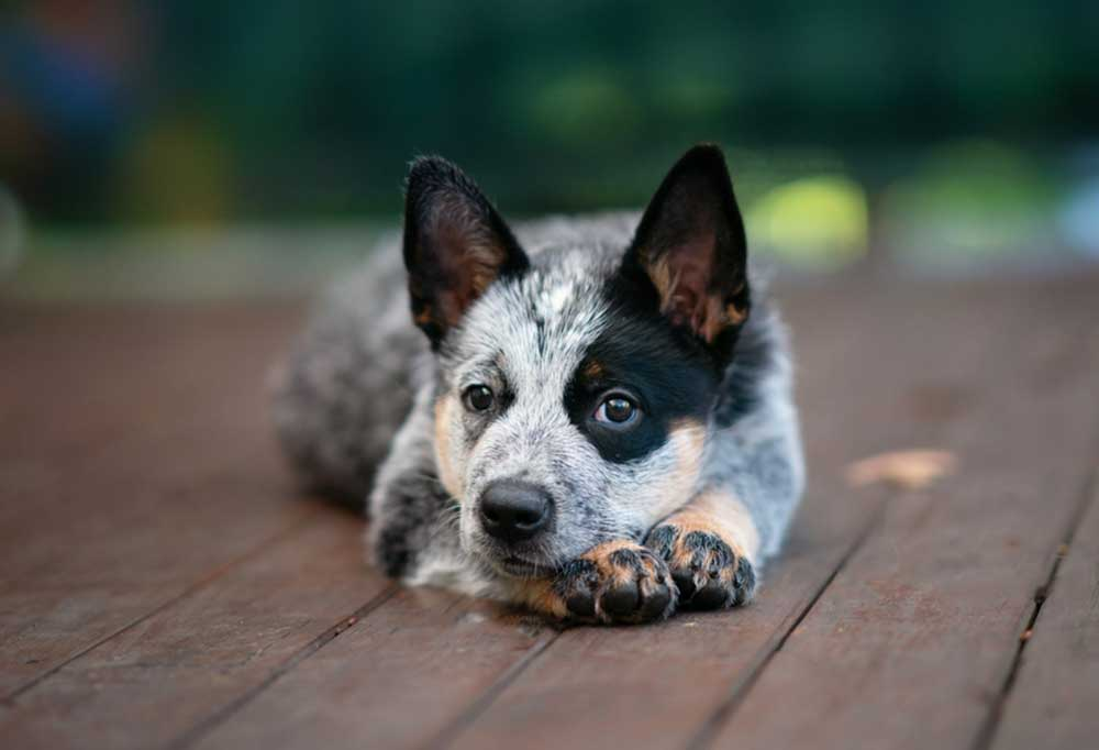 Australian Cattle Dog laying on a wooden deck