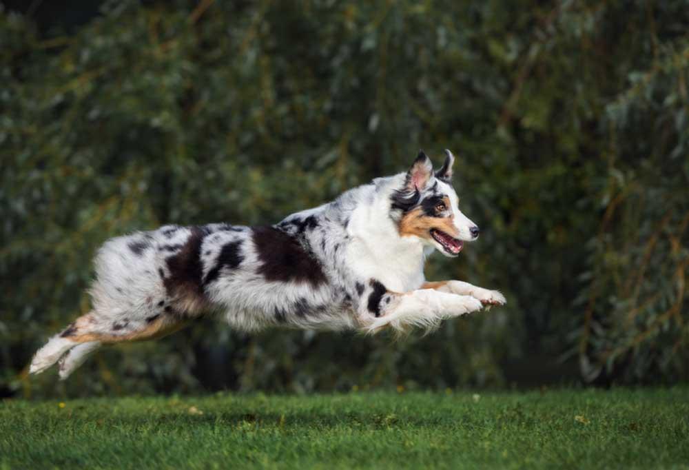 Australian Shepherd bouncing in a grassy field