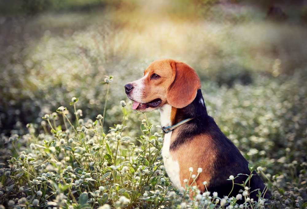 Beagle sitting in a field of wildflowers