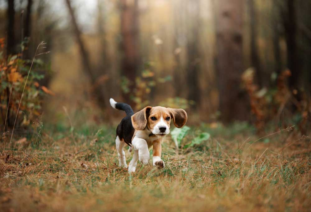 Beagle on a wooded trail