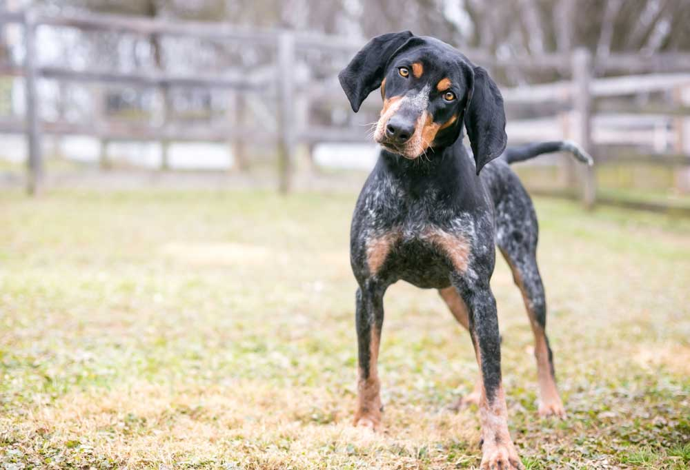 Bluetick Coonhound in a fenced in yard