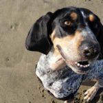 Bluetick Coonhound sitting in sand