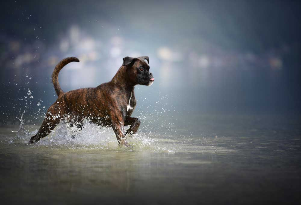 Boxer in the water
