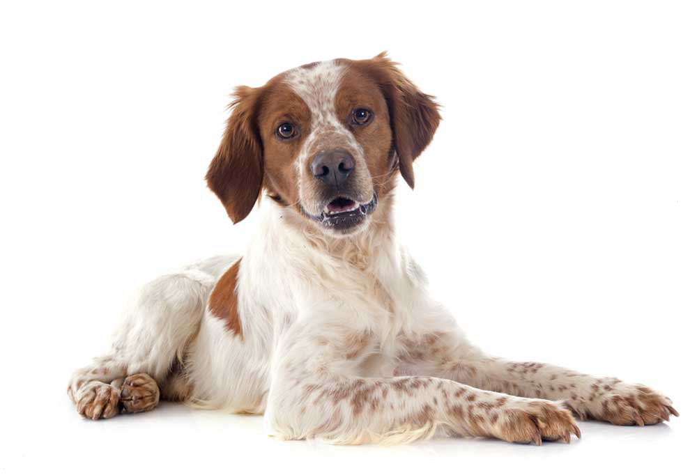 Brittany Spaniel isolated on white background