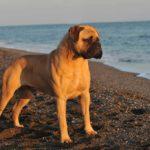 30 Dog Breeds that Begin with B-Bullmastiff
