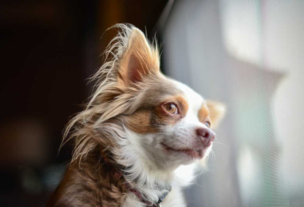 Chihuahua looking out of window