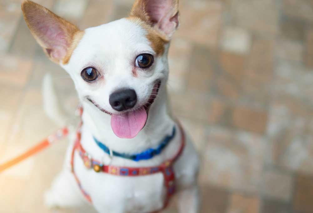 Chihuahua in harness standing on hind legs
