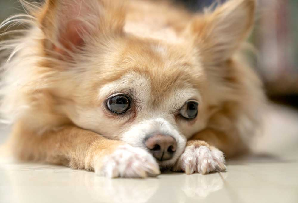 10 Dog Breeds that Whine a Lot- Chihuahua with head on paws
