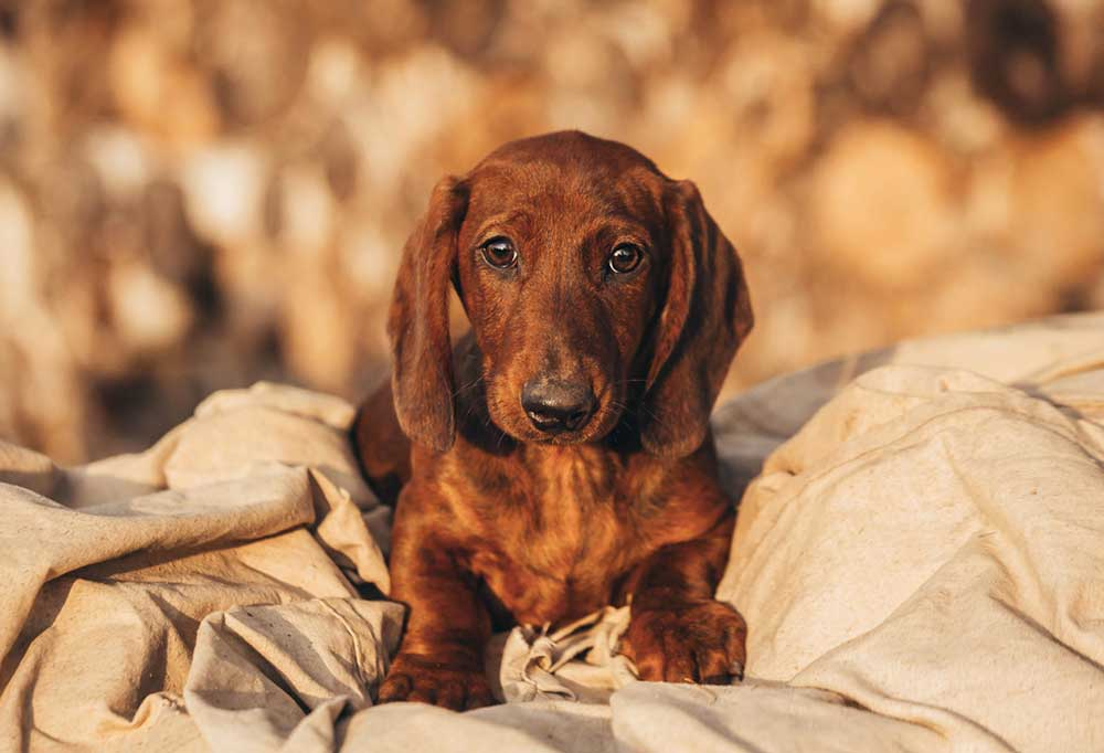Dachshund sitting outside on canvas material