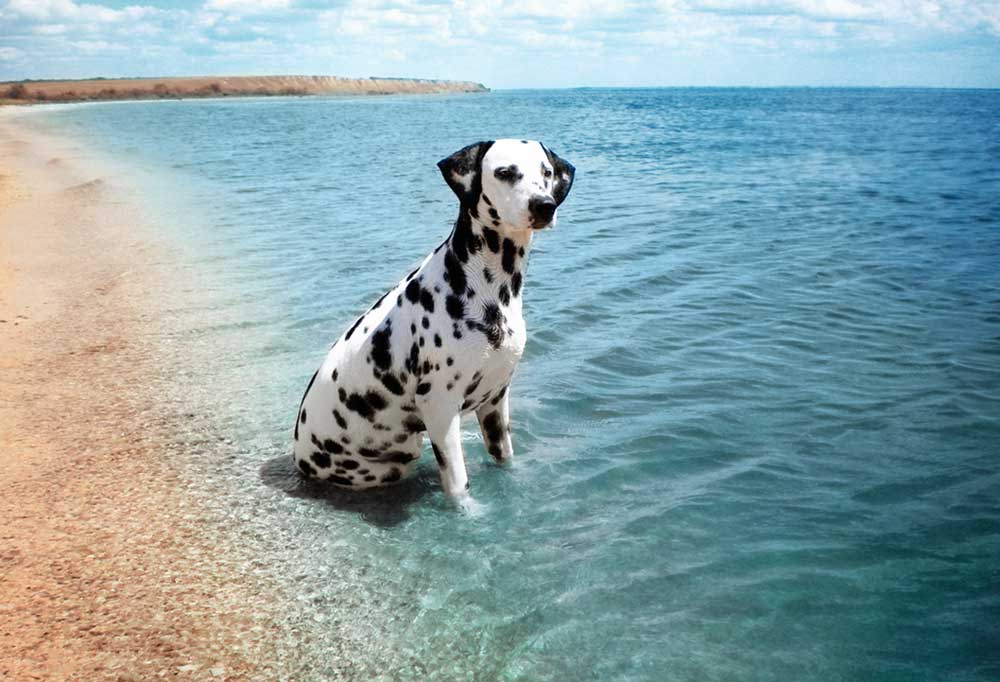 Dalmatian at the beach sitting in the water