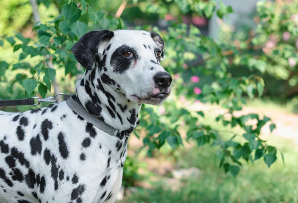 Dalmatian standing under a tree