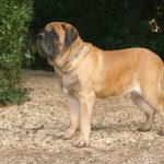 English Mastiff standing on pebble walking trail
