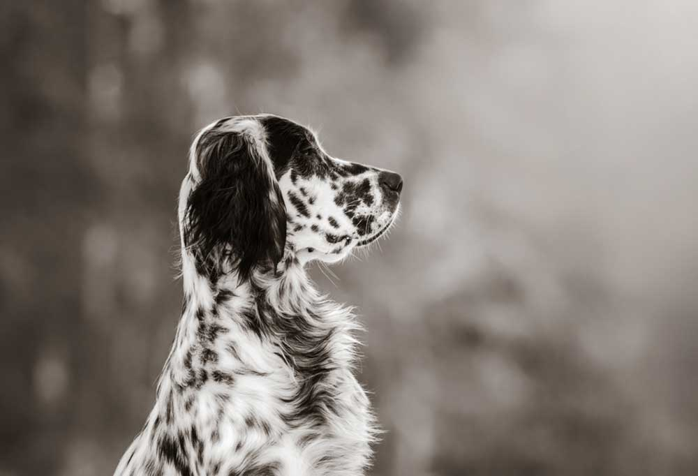 side portrait of an English Setter