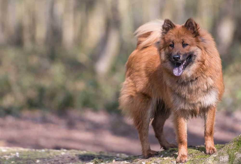 Eurasier on a grassy trail