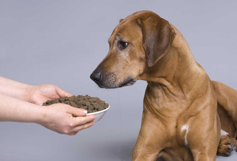 Senior dog staring at full bowl of dog food
