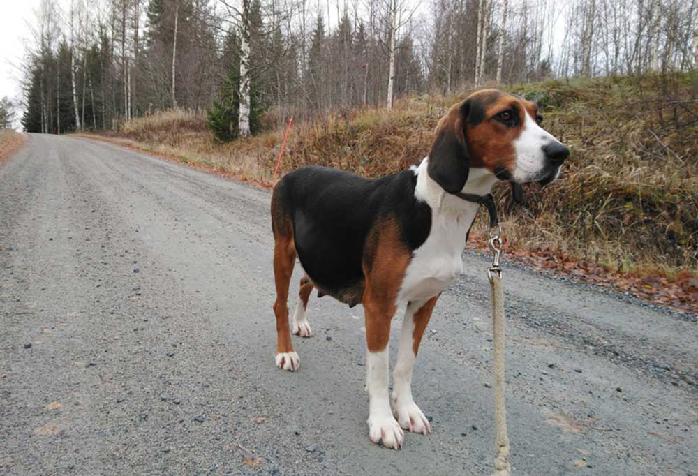 Finnish Hound standing on a gravel road being led by a leash
