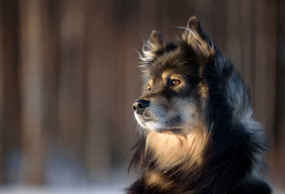 Close up portrait of a Finnish Lapphund in nature