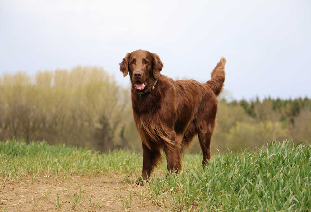 Flat-Coated Retriever outside standing on a dirt trail surrounded by grass