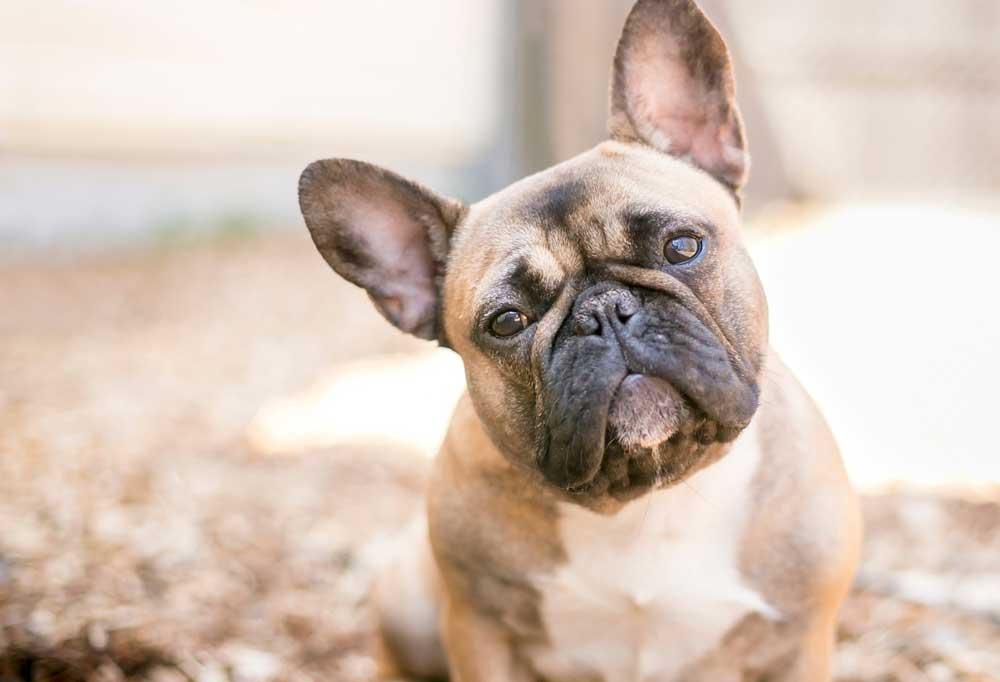 French Bulldog portrait- head shot