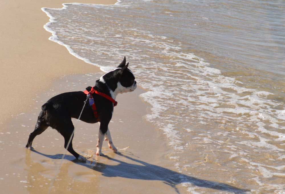 Frenchton playing in water at the beach