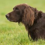 German Longhaired Pointer standing in tall grass