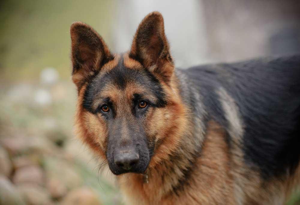 German Shepherd outdoors