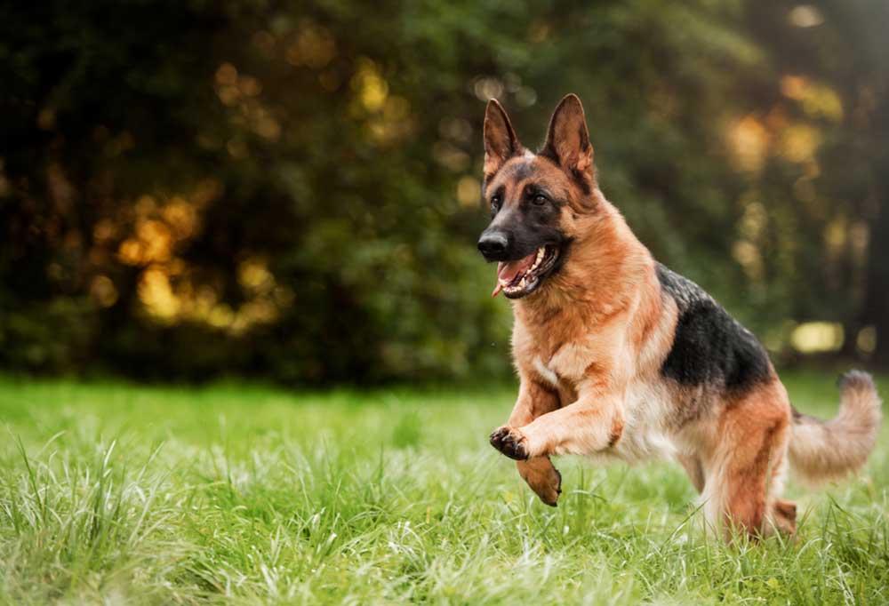 German Shepherd running through grassy field