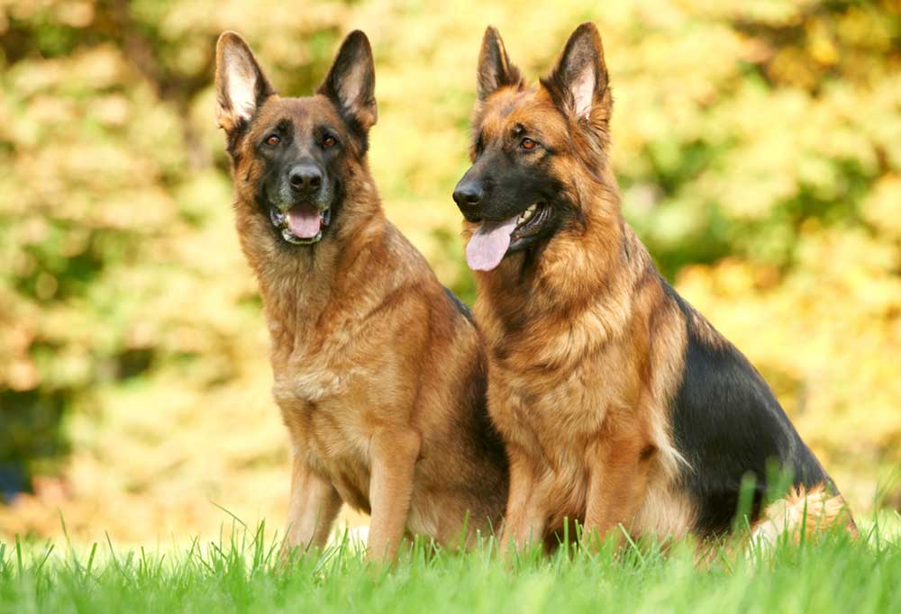 Pair of German Shepherds sitting in grass outside
