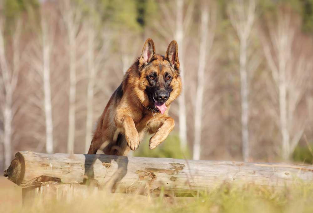 German Shepherd jumping over a fallen tree