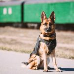 9 Dog Breeds that Police Use-German Shepherd in a Police vest sitting in front of a train