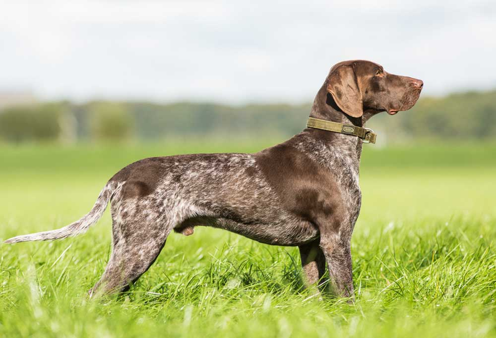 German Shorthaired Pointer in tall grass