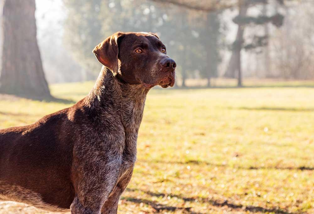German Shorthaired Pointer standing in sunlit field
