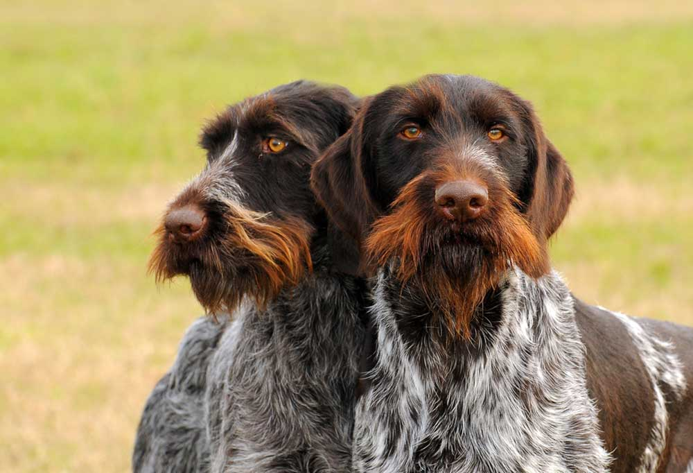 Pair of German Wirehaired Pointers standing in grassy field.