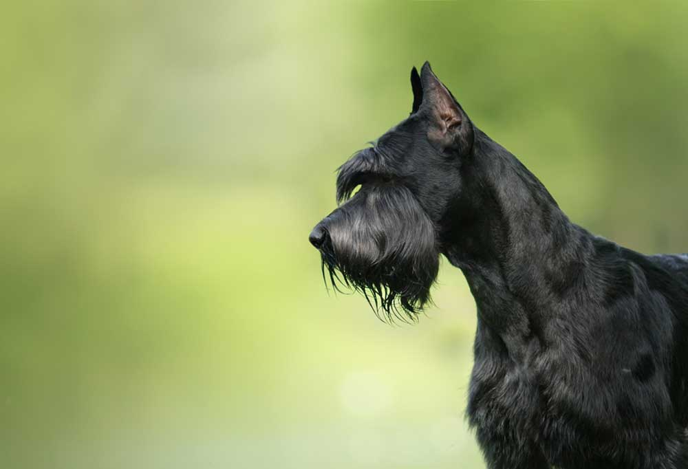 Giant Schnauzer on a green background