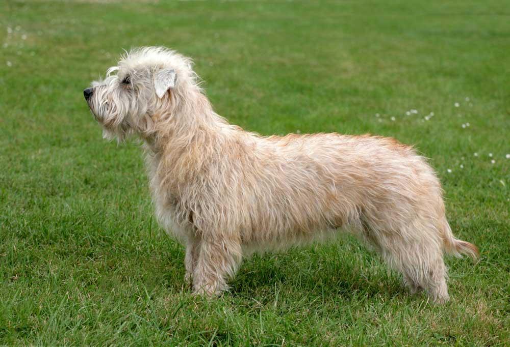 Glen of Imaal Terrier standing in grassy field