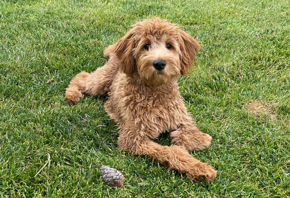Goldendoodle laying in grass outside