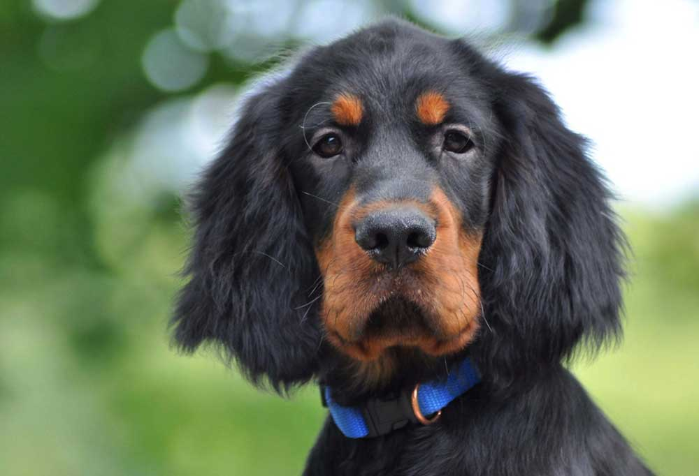 Close up portrait of a Gordon Setter outside in natural setting
