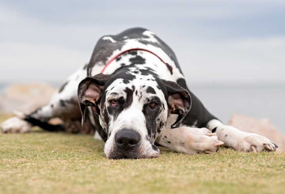 Great Dane laying in grass with head on its paws