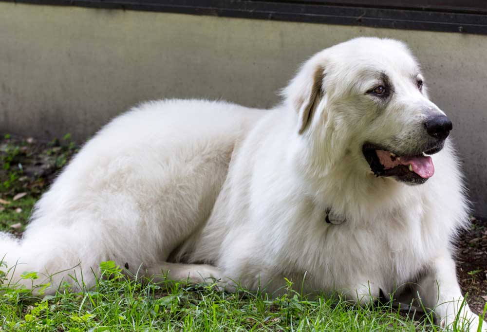 Great Pyrenees laying in weeds at the base of a building