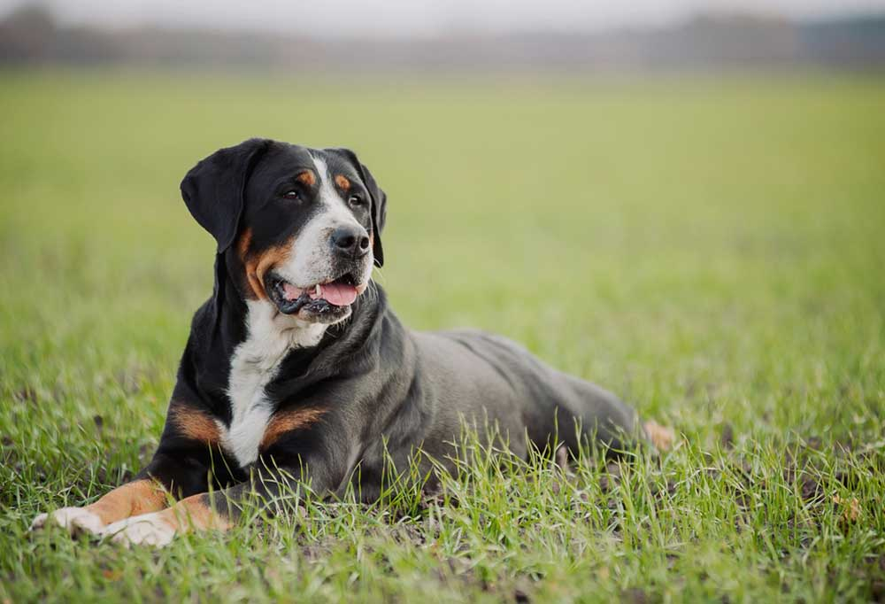Greater Swiss Mountain Dog laying in grass