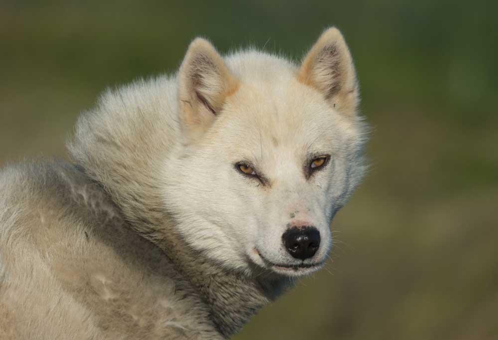Portrait of a Greenland Dog