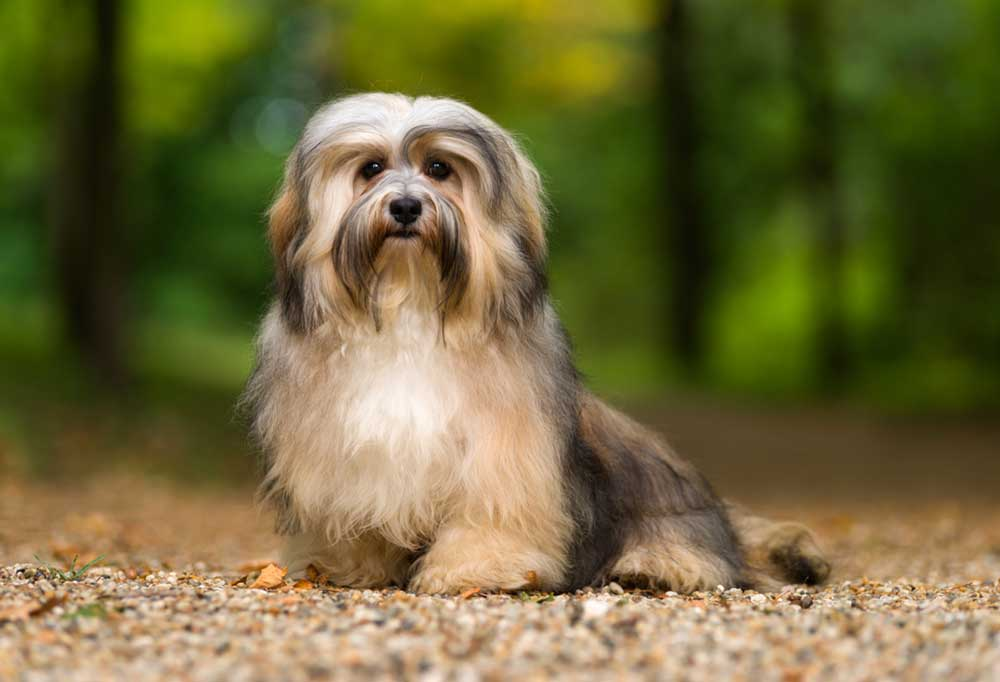 Havanese outdoors in nature
