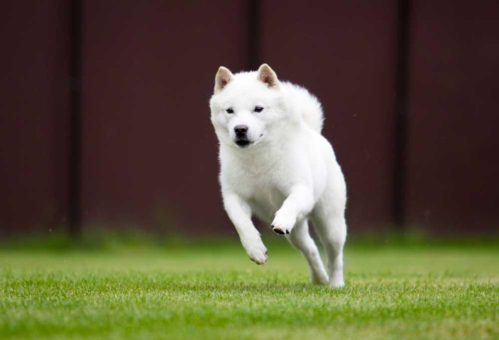Hokkaido jumping in grass yard