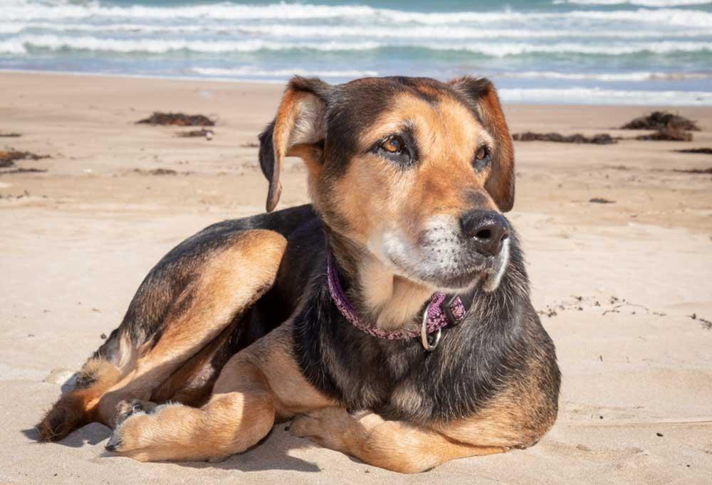 Huntaway laying on a sandy beach