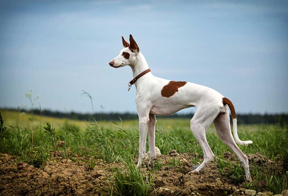 Ibizan Hound on a grassy hill