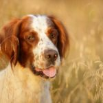 Irish Red and White Setter in tall grass