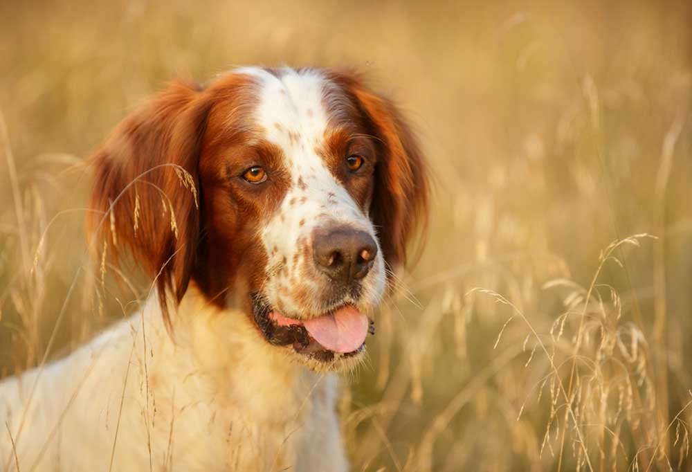 Irish Red and White Setter portrait in tall grass