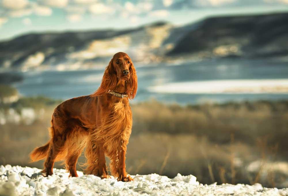 Irish Setter on a rocky shoreline